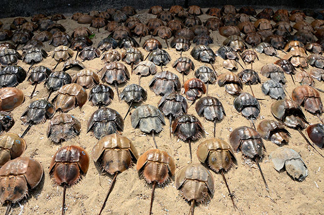 Hundreds of horseshoe crabs mysteriously die in Japan