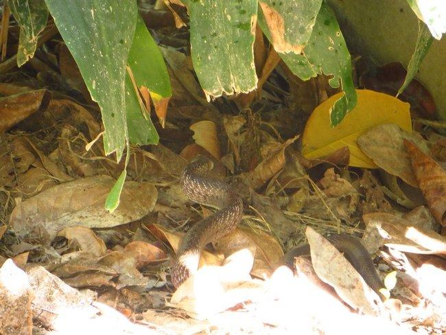 Ядовитая змея в Таиланде