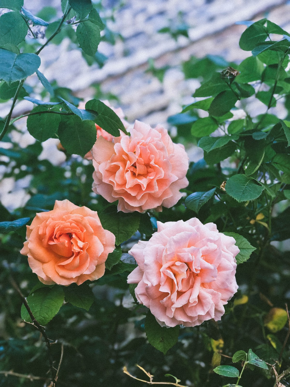 100+ Rose Flowers HD Images: Rose is the queen of flowers
