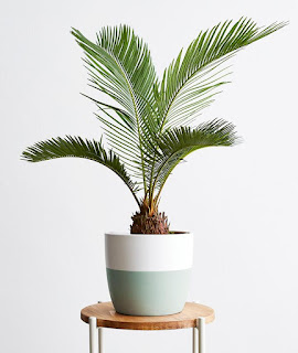 Sago Palm in a white and green pot on a wooden stool.