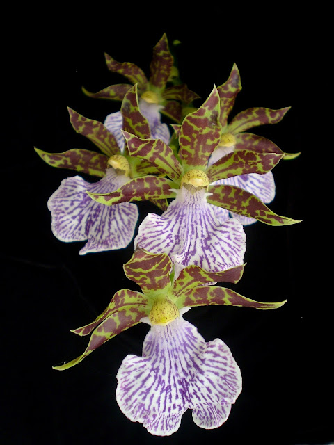 Orquídea azul (Zygopetalum mackyi)