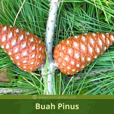 Ciri ciri pohon pinus