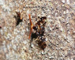 Hammerhead Fly