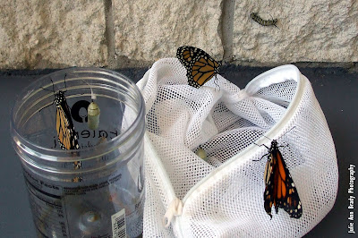 3 New Monarch Butterflies and 2 Pupa and 1 MBC
