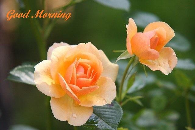 good morning rose flower