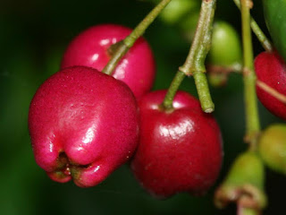 Lilly Pilly Fruit pictures