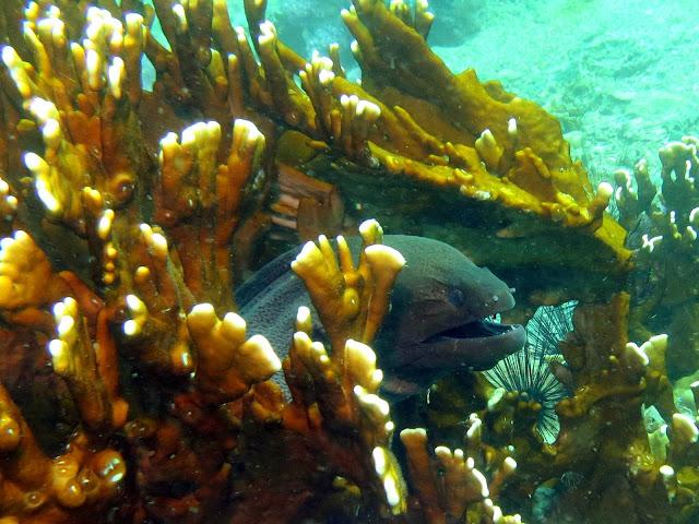 giant moray eel, malacca straits, thailand, koh lipe, andaman sea, underwater