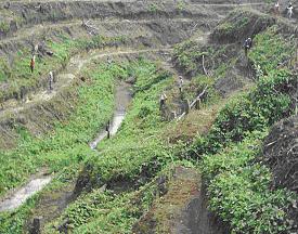 Gambar Pembuatan ajir pada lahan bergelombang