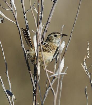"alt=""ratona aperdizada (Cistothorus platensis),aves de Mendoza"""