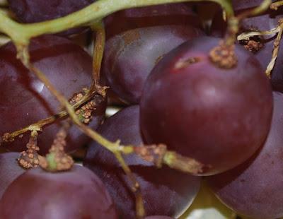 tanam biji anggur dari buah