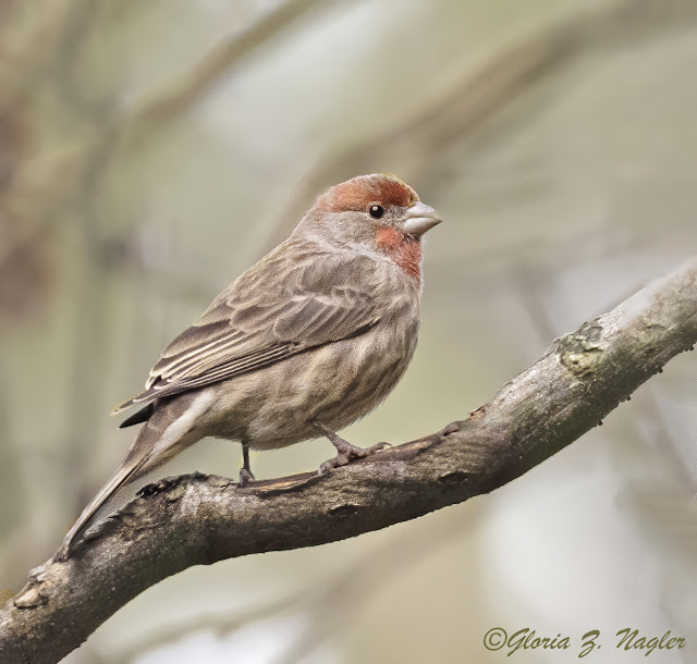 a neat and tidy bird poses on a thick branch. Its feathers have a light red rinse on head and throat. Wings are pretty brown stripes and chest is a fluffy muted brown white