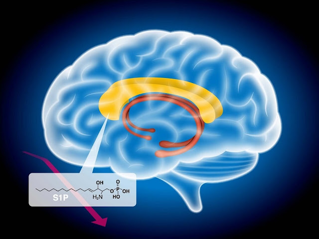 Un trituratore di proteine regola il metabolismo dei grassi nel cervello