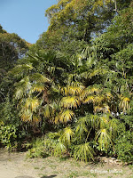 Short palm trees, Japan