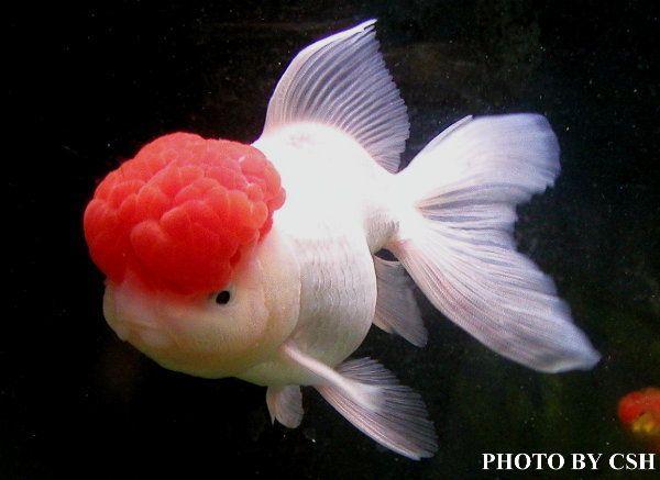 金魚快訊部落格Goldfish message blog: 紅帽金魚寫真(White oranda with red cap)