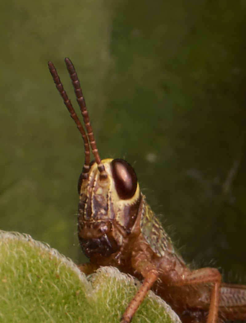 up-size,150%, photography, grasshopper