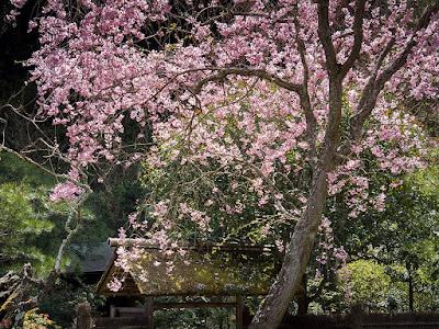 Sidare-zakura (Prunus pendula Maxim.) blossoms: Tokei-ji