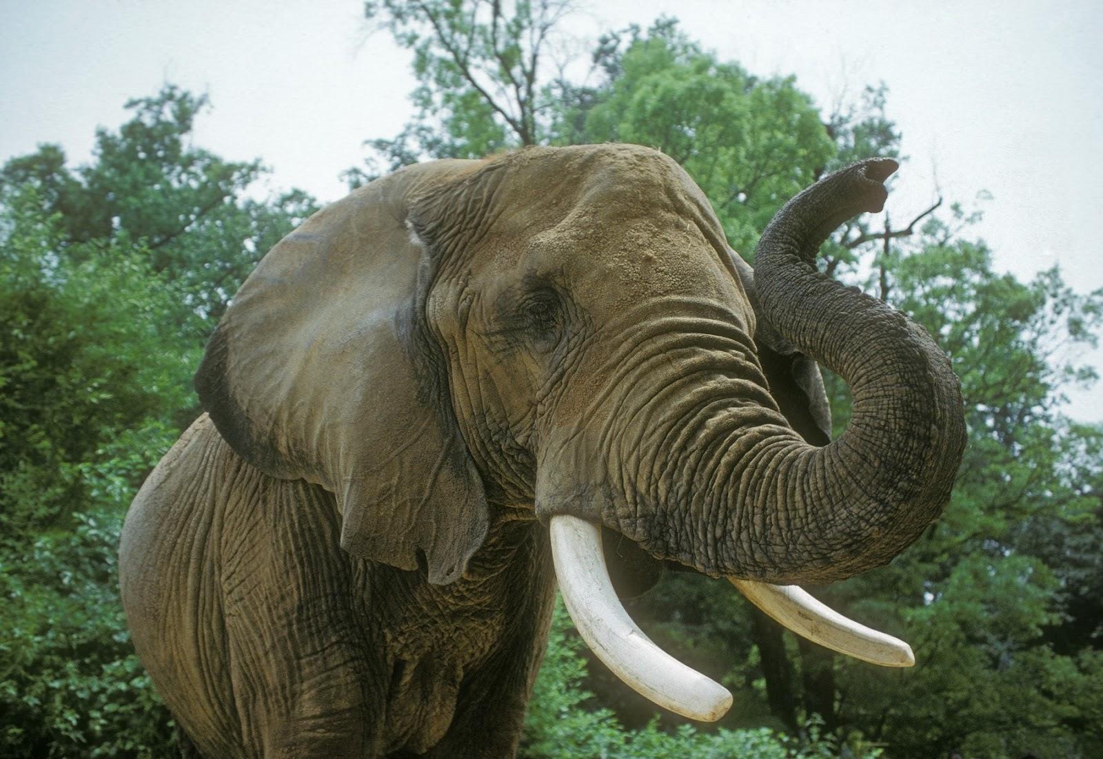 Animal Zoo Life: |Elephant|Facts about elephants|Indian ...