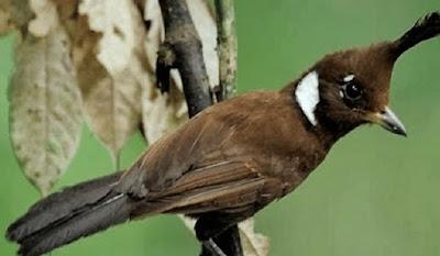 Kisaran Daftar Harga Terbaru Burung Cililin Saat Ini Di Tahun 2018 Paling Lengkap