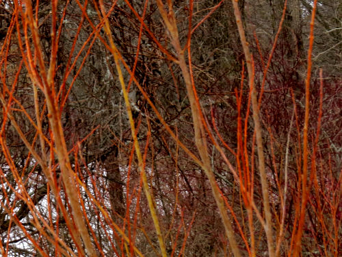 orange willow tree branches in February