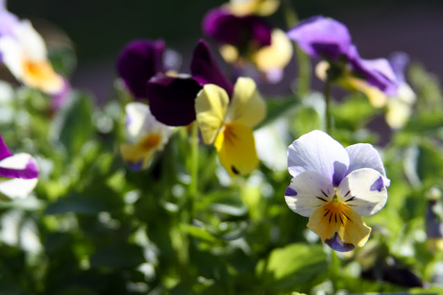 violas, garden, spring, flowers, Anne Butera, My Giant Strawberry