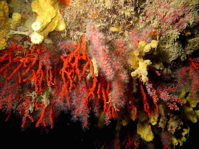 Corais-de-aguas-profundas