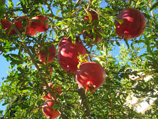 Red, ripe pomegranates amongst green branches. Desert Survivors has heirloom pomegranate trees.