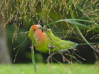 lovebird makan