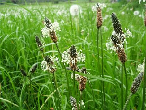 Llantén menor (Plantago lanceolata)