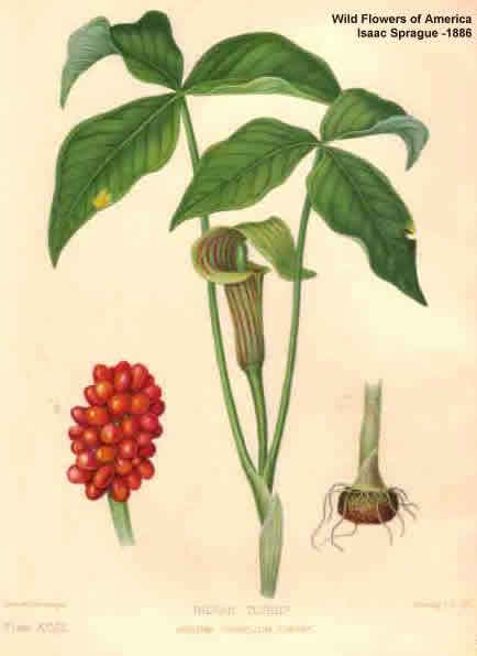 Jack In The Pulpit Is Arisaema Triphyllum For Your Shade Garden