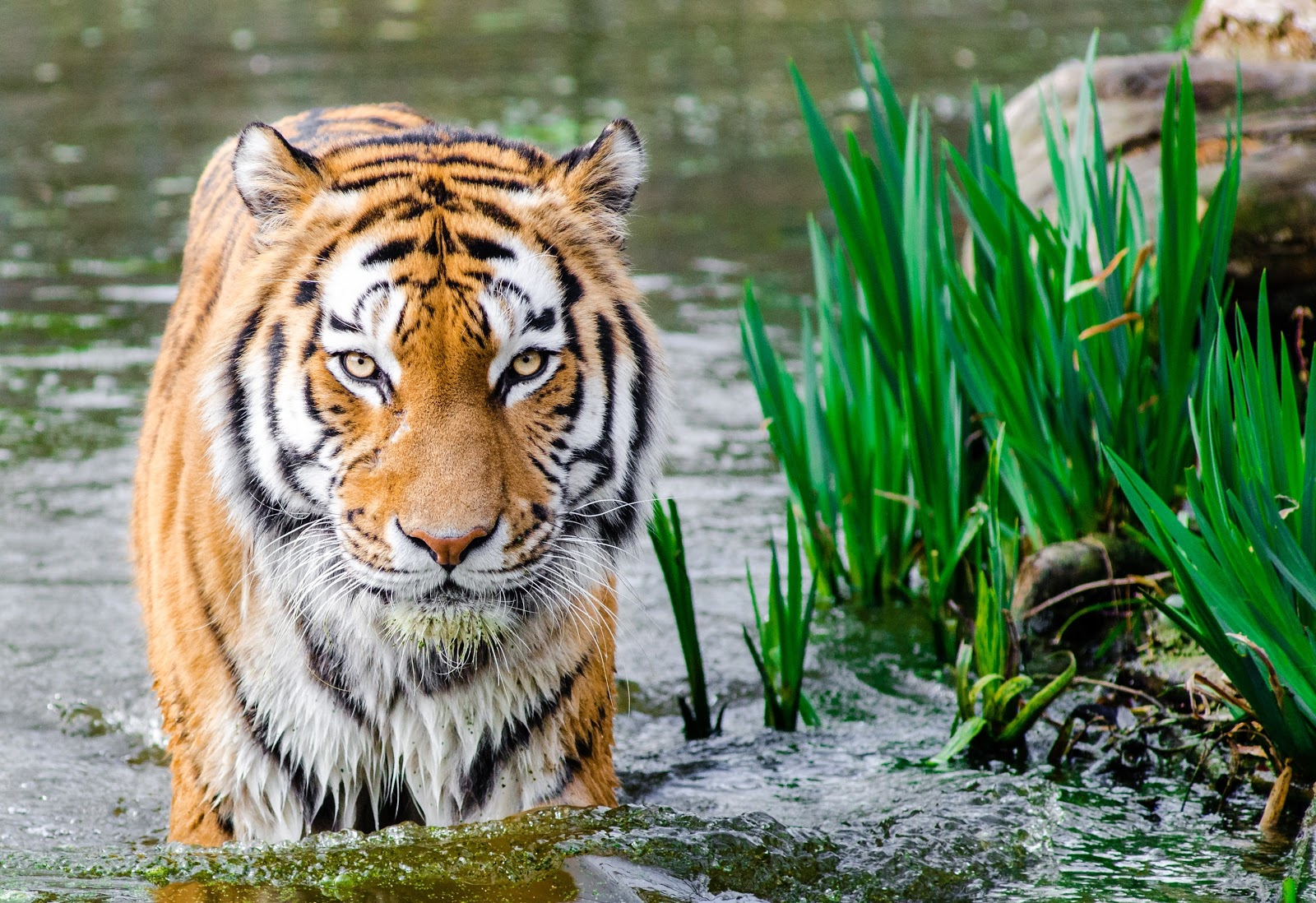 bengal-tiger-half-soak-body-on-water-during-daytime-pictures