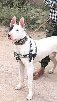 Best Indian Dog breeds