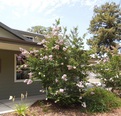 Light Pink Crape Myrtle Tree in Julys, Templeton, © B. Radisavljevic