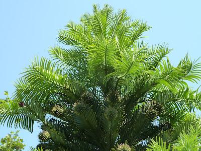 Kew Gardens Wollemi Pine