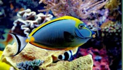 ikan botana blue tang