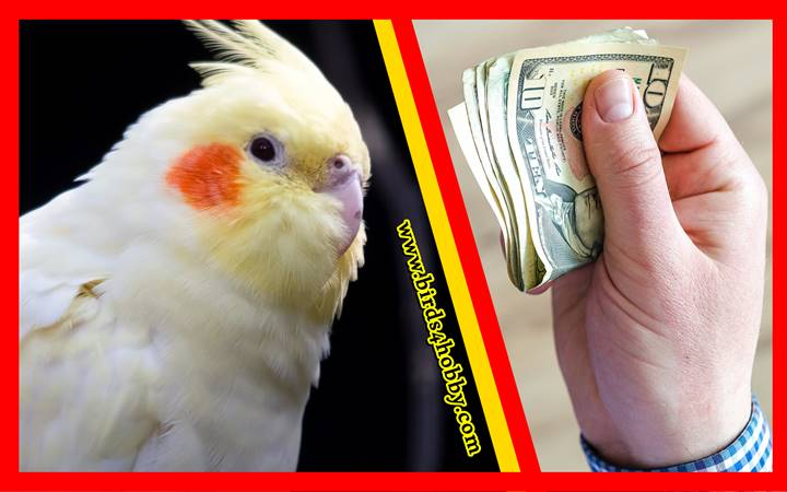 سعر طائر الكوكتيل
