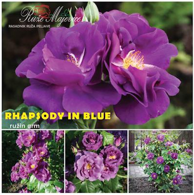 RHAPSODY IN BLUE - raskošna rapsodija u plavom tokom proljeća, ljeta i jeseni.  Grm engleske ruže.