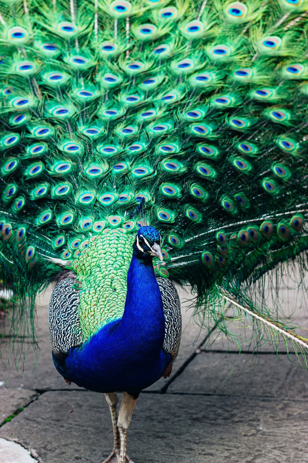 On of the very special and beautiful birds Peacock