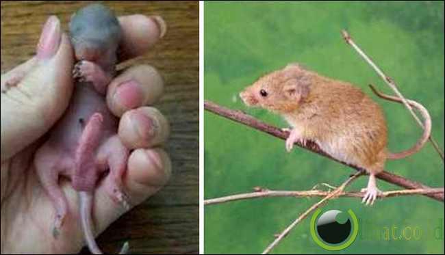 Tikus Ladang kecil (Penis setengah tubuh)