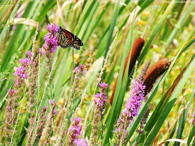 Granjas de Massachusetts: Juncos y Mariposa