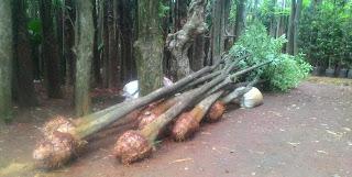 harga jual tanaman pule batang tunggal