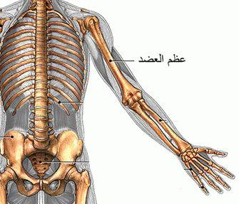 تعرف على الهيكل العظمي  و أنواع العظام