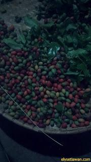 panen  buah melinjo