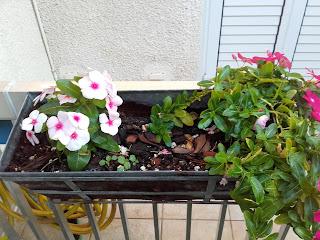 busy lizzie (impatiens) plants in Cyprus