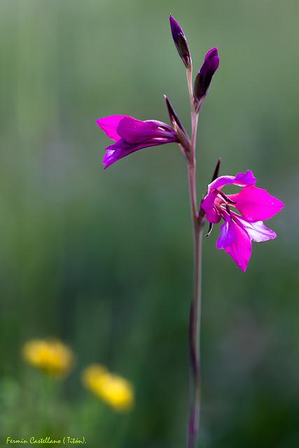 Gladilolo silvestre (Gladiolus illyricus)