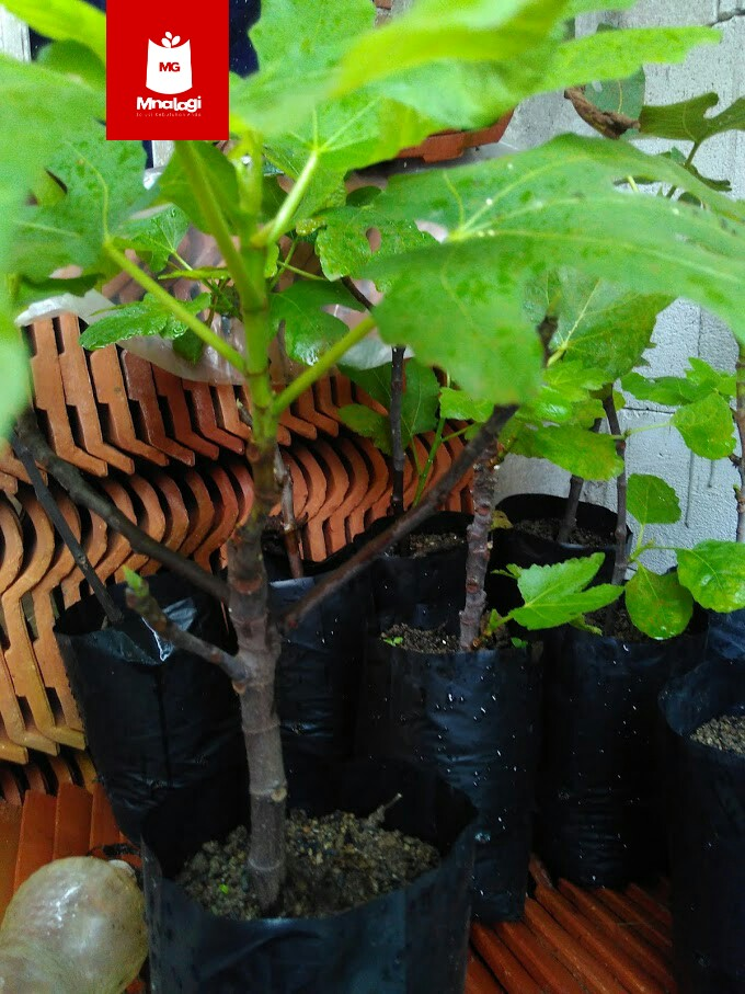 Berbagai manfaat  tanaman buah tin   Bibit dijual dengan harga 50.000/jenis