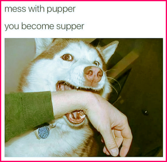 Don't mess with the pupper... 'cause if ya mess with the pupper, you become supper! ya know, just saying... #funny #truth #meme #husky #pupper #dogs #adorable