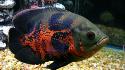 ikan hias air tawar paling populer