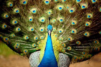 صورة طاوس تحفة، اجمل صور طيور