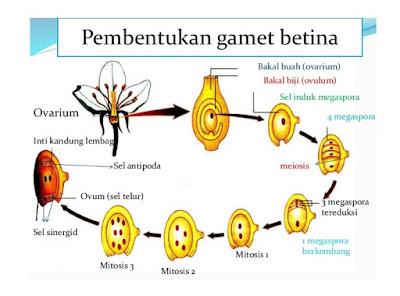 Pembentukan Gamet Betina Tumbuhan Dikotil - pustakapengetahuan.com