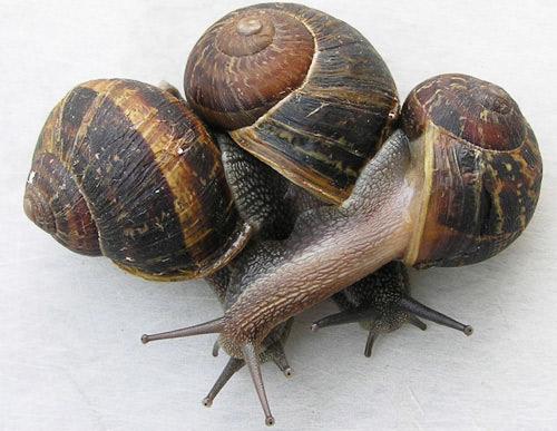snail-garden-invasive-destructive-disease-